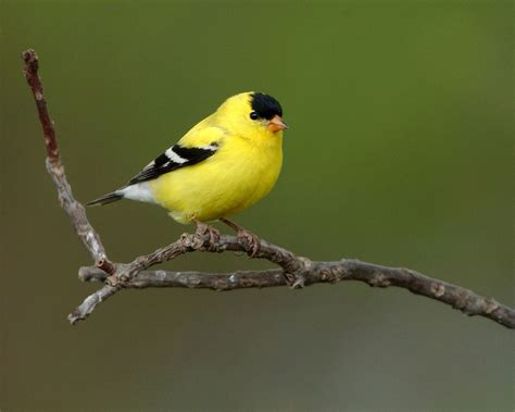 eastern goldfinch www pixshark com images galleries