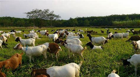 Bibit Kambing Boerka panduan umum ternak kambing alam tani