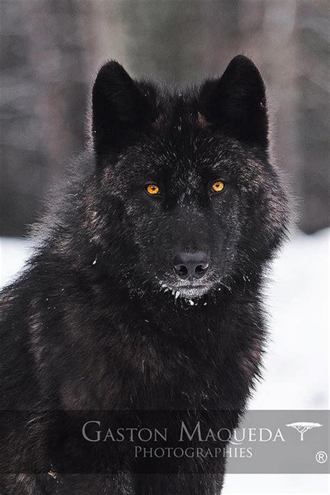 imagenes lobo negro mis fotografias de vida salvaje ecolog 237 a taringa