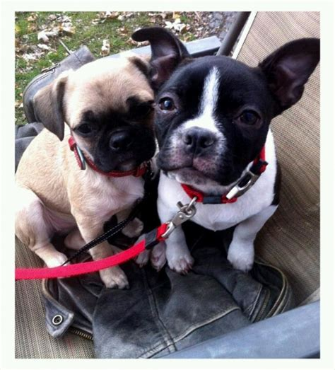 boston bull terrier puppies 32 best images about boston bull terriers puppies on kinds of dogs boston
