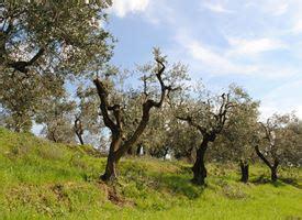 potatura olivo in vaso olivo cultivar ulivo