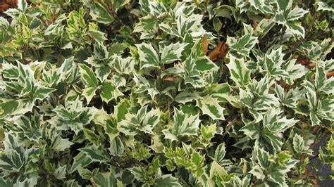 goshiki osmanthus brightens up any garden spot what