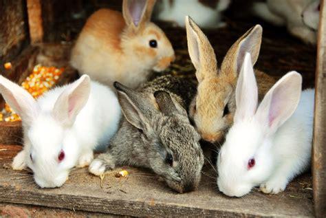 allevare conigli in gabbia mai pi 249 conigli in gabbia e ora food buono