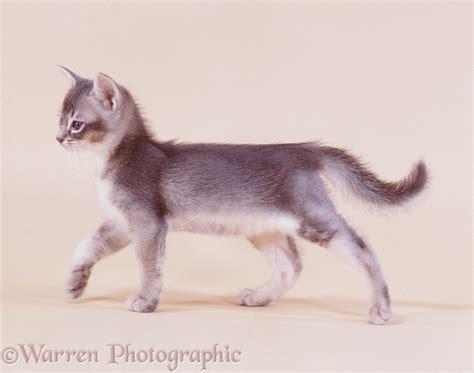 Blue Abyssinian kitten in looking proud photo WP19127