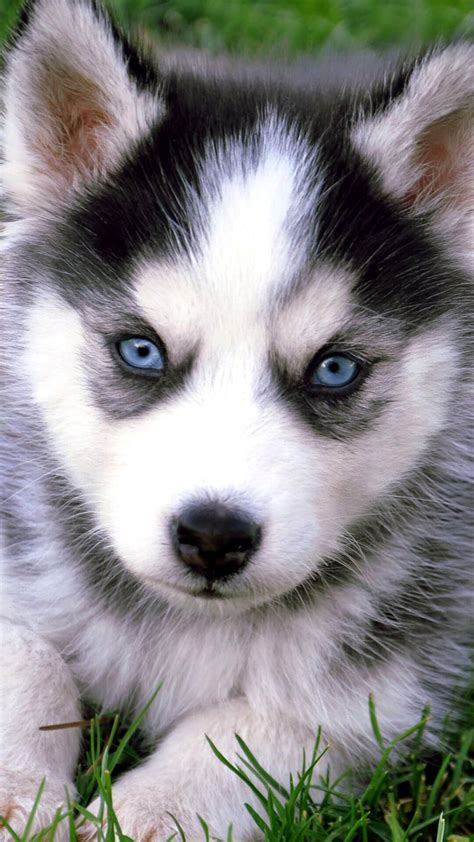 wallpaper for iphone 6 dogs cute husky puppies with blue eyes iphone wallpaper hd