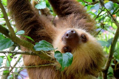all tropical rainforests animals search results insectanatomy free photo sloth costa rica puerto viejo free image
