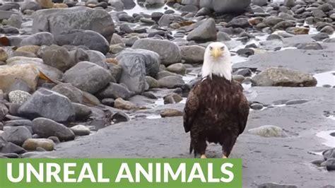 bald eagle walking bald eagle casually walking on the