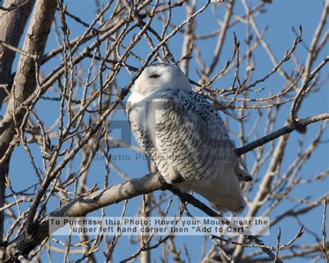 Kaos Go Green Save Our World these snowy owls were photographed in the smithville lake