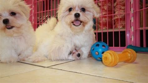 coton de tulear shih tzu mix pretty coton tzu puppies for sale in atlanta coton de tulear shih tzu breeders