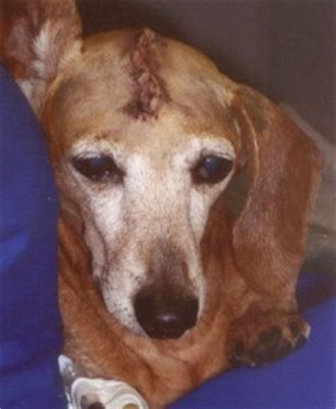 brain tumor in dogs brain surgery ivg hospitals