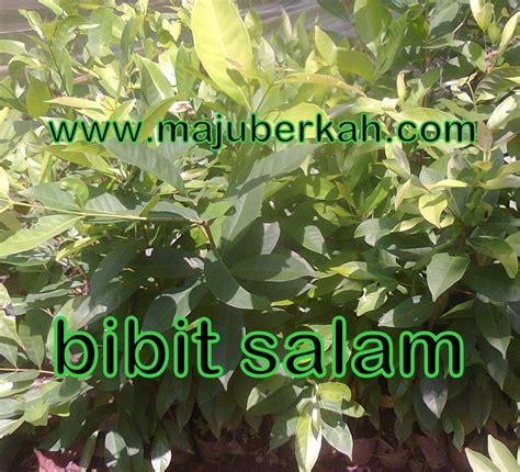 Bibit Daun Salam bibit salam bibit tanaman salam jual bibit salam bibit