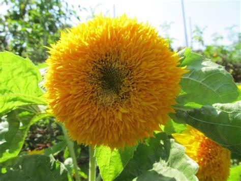 jual benih bunga matahari teddy bear  lapak larisss shop