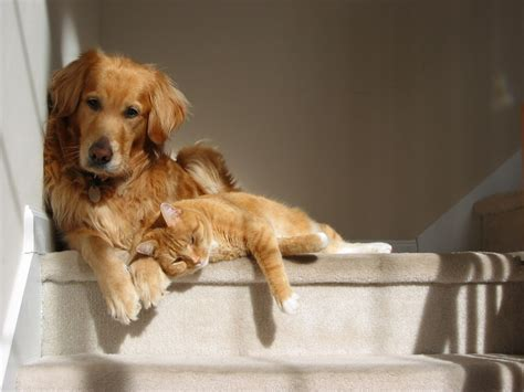 golden retriever and cats golden retriever y otras mascotas tugoldenretriever