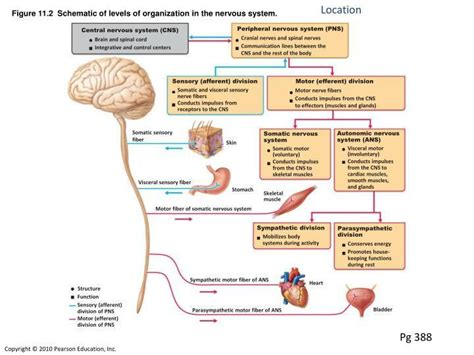 section 35 2 the nervous system print autonomic nervous system flashcards easy notecards