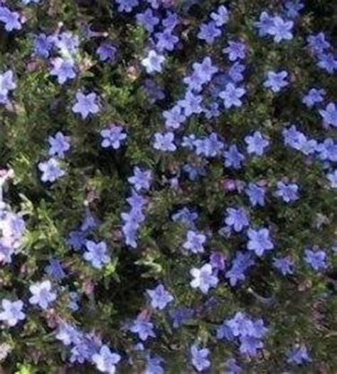 pini da giardino pini e piante fiorite domande e risposte giardino