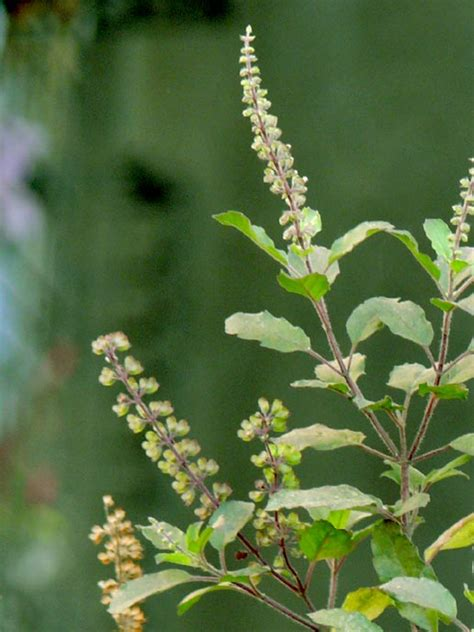 Tulsi Basil For by Holy Basil Tulsi Leaf Health Benefits Uses Side Effects