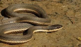 birding bros blog linus and the queen snakes