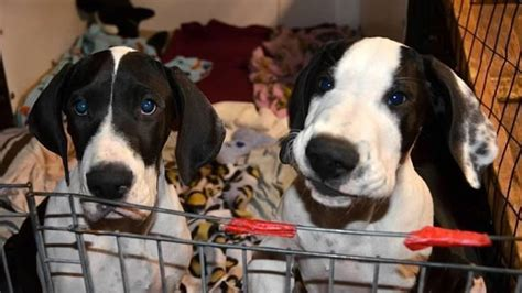 great dane service why great danes make great service dogs explore