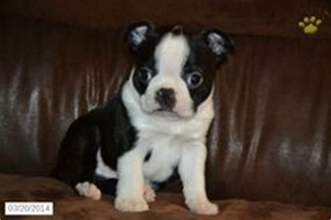 boston terrier puppies for sale cincinnati ohio 1000 images about puppies for sale on puppies for sale ohio and morkie