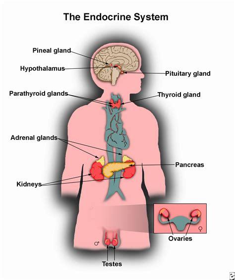 diagram of endocrine system endocrine system labeled diagram anatomy human