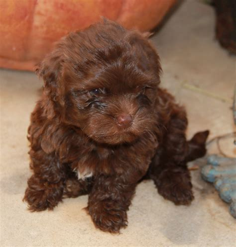 bolonka puppies pin russian tsvetnaya bolonka puppies for sale arizona california on
