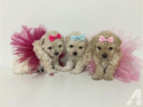teacup puppies prices teacup maltipoo puppies price neg for sale in claremont california