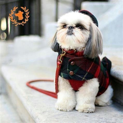 shih tzu sweaters best 25 shih tzu ideas on