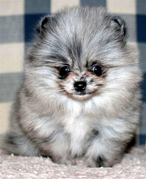 lavender pomeranian puppies blue merle pomeranian cuteness pomeranians kittens