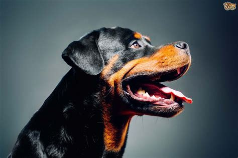 buy a rottweiler rottweiler breed information buying advice photos and facts pets4homes