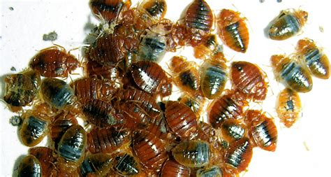 do moth balls kill bed bugs mothballs rubbing alcohol score poorly in tests of diy