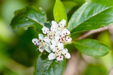 biancospino fiori biancospino le propriet 224 della pianta amica cuore