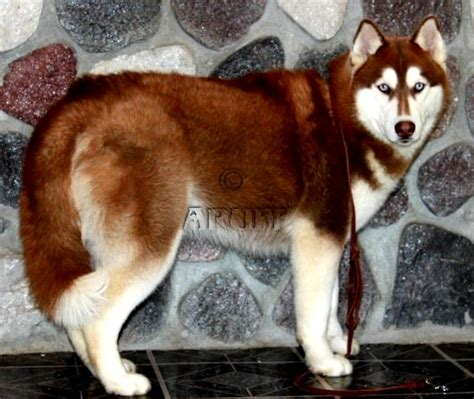 husky puppy with blue brown huskies with blue www pixshark images galleries with a bite