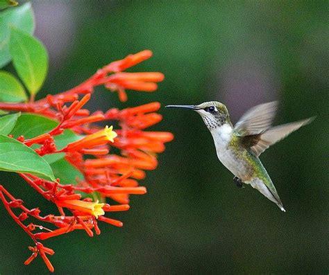 hummingbird plant hamelia patens firebush hummingbird bush 30 seeds by