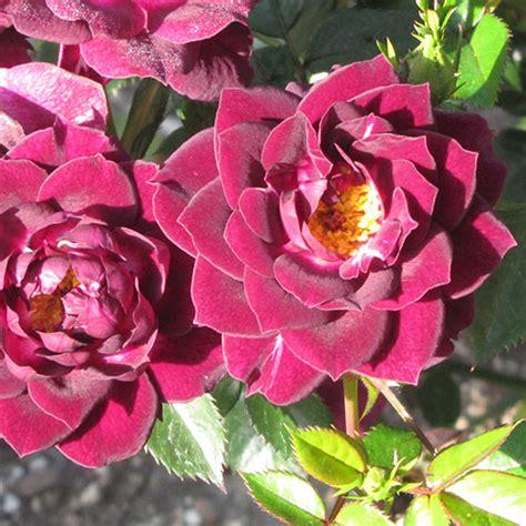 diamond eyes rose  van bourgondien wholesale flower
