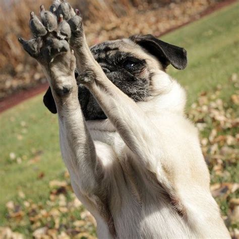 pug paws put all your paws up in the air pug chose me