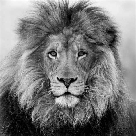 lion tattoo hd photo 85 best lion tattoo images on pinterest tattoo ideas