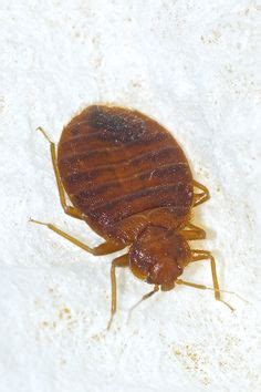do bed bugs make you sick how to tell if you have bed bugs or fleas while bed bug