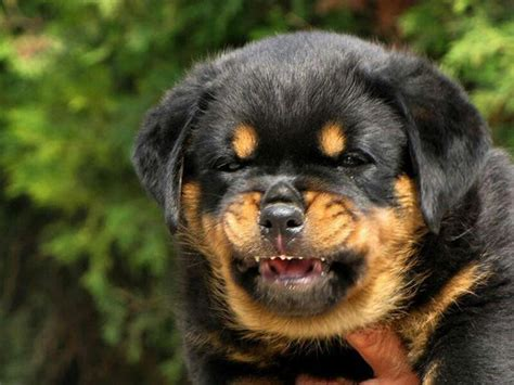 rottweiler teeth 1376 best images about rottweiler on best dogs rottweiler and german