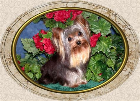 yorkie height page 4 velvet touch yorkies d o b height weight information