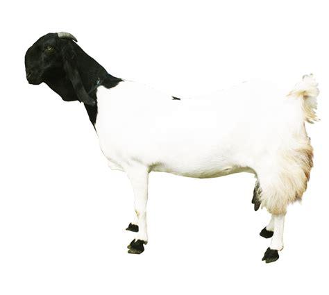 Kambing Etawa Untuk Ibu manfaat kambing etawa bagi kesehatan zona keren