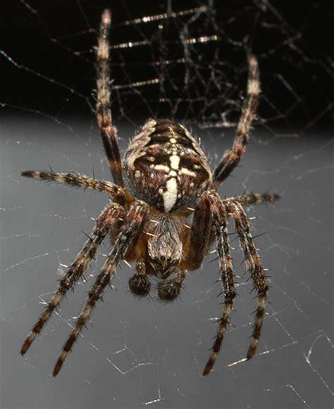 White Garden Spider Uk Garden Cross Spider Buglife