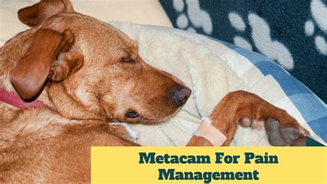 metacam for dogs side effects metacam for management smart owners