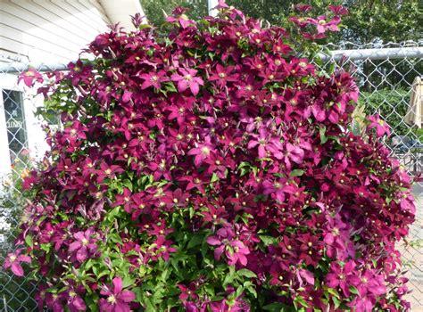 Clematis Viticella Rubra 4179 by Welcome Garden St Albert Botanic Park