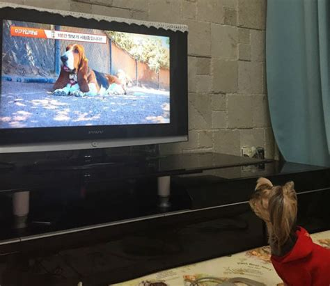 can dogs see tv this is what your sees when you guys tv barkpost