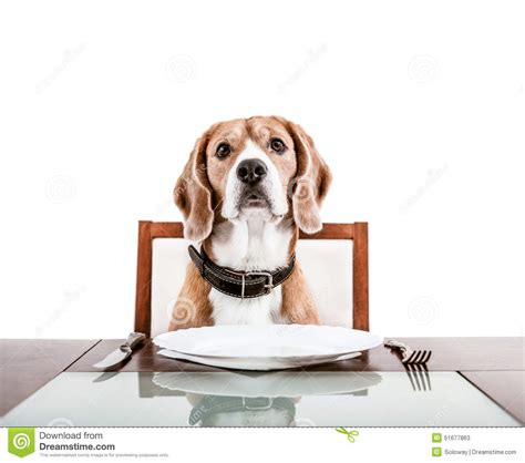 dogs at dinner table waiting for a dinner on the served table stock image