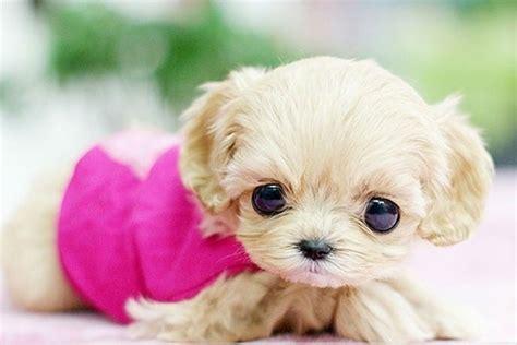 imagenes de animales adorables perros enanos los perros toy m 225 s adorables fotos