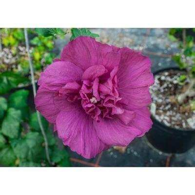 gal magentachiffonrose  sharon hibiscus  plant