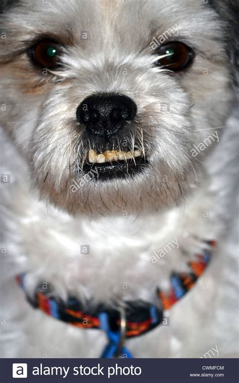 shih tzu bite shih tzu with bite breeds picture