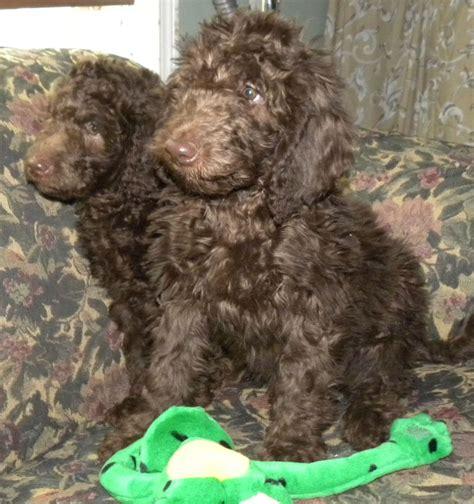 doodle doodle breeders puppies best labradoodle breeders in washington state