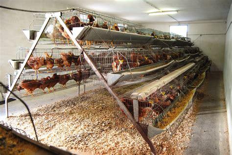 alimento para gallinas ponedora gallinas ponedoras crianza alimentaci 243 n razas y m 225 s